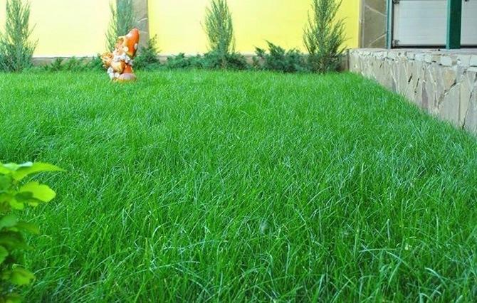 Покрытие газона травой мятлик луговой